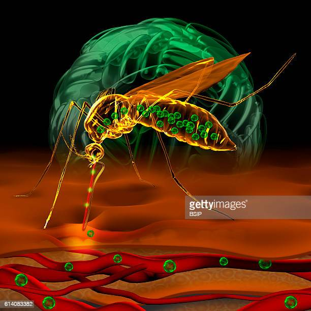Illustration of a mosquito bite showing the zika virus being transmitted or that of the dengue virus By biting an infected person the mosquito...