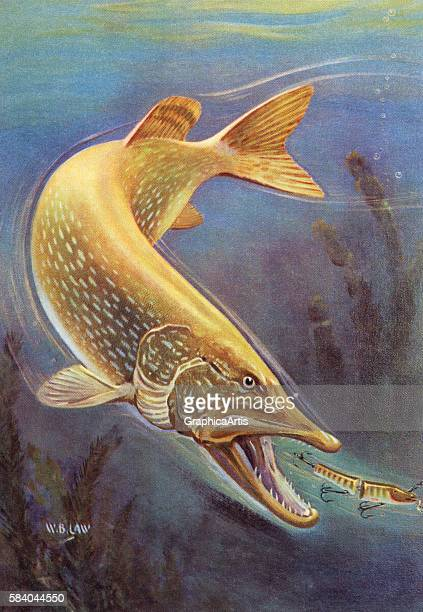Illustration of a northern pike about to strike a fisherman's lure 1950 Lithograph