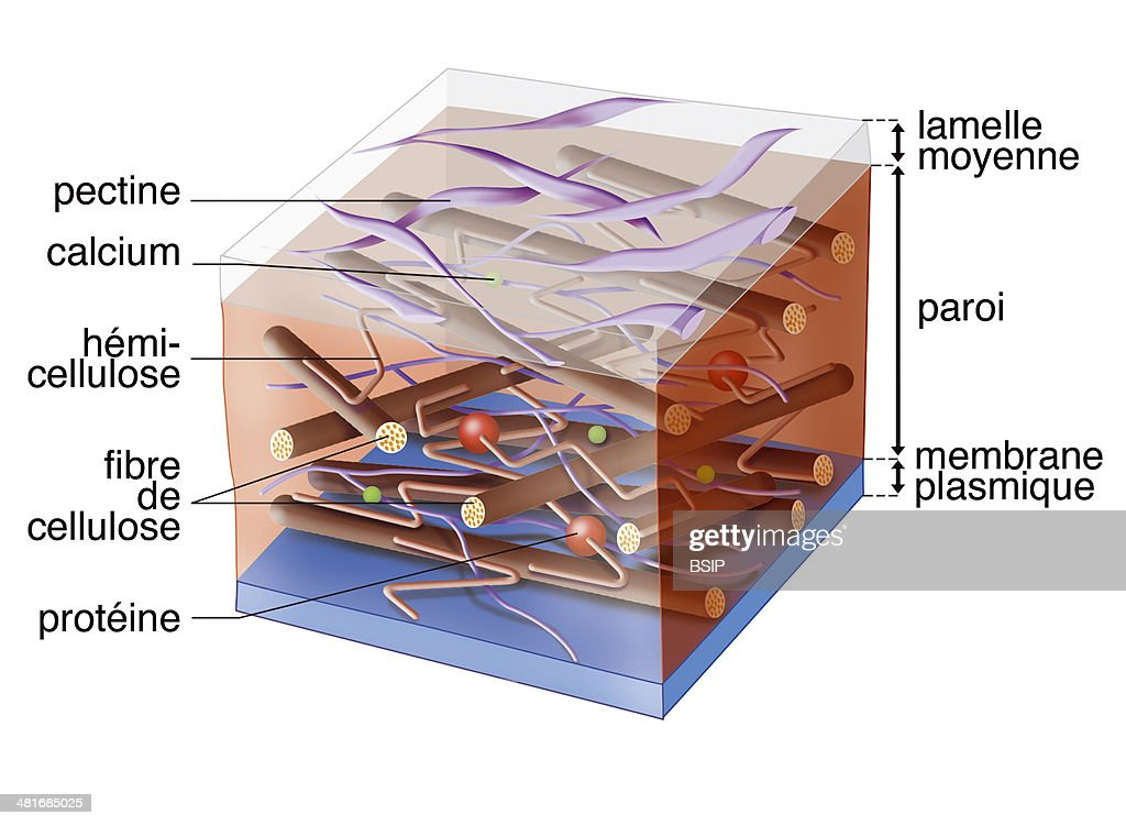 Plant cell wall pictures getty images illustration of a plant cells primary cell wall consisting of cellulose hemicellulose proteins ccuart Image collections