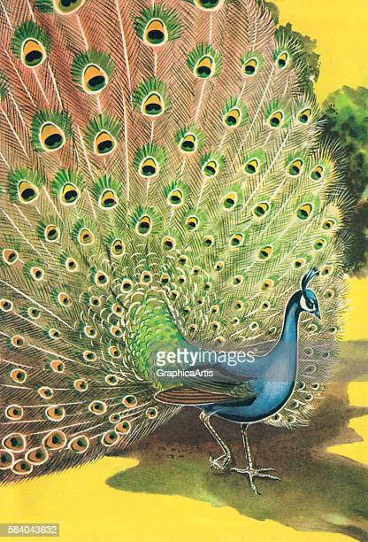 Illustration of a proud male Indian peacock displaying its spectacular tail feathers 1962 Screen print