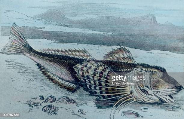 Illustration of a sea robin 1920s