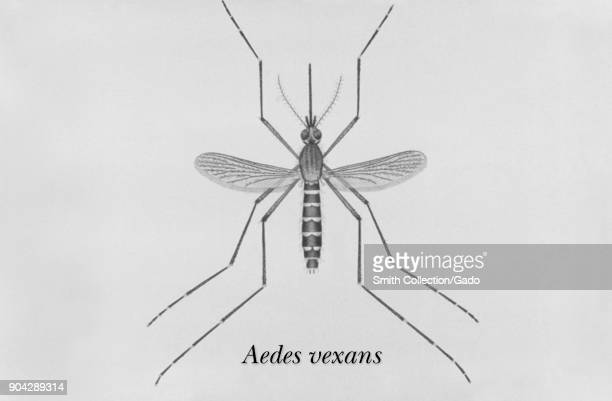 Illustration of an adult Aedes vexans mosquito one of the mosquito species in which West Nile virus has been found 1976 Image courtesy CDC/James...