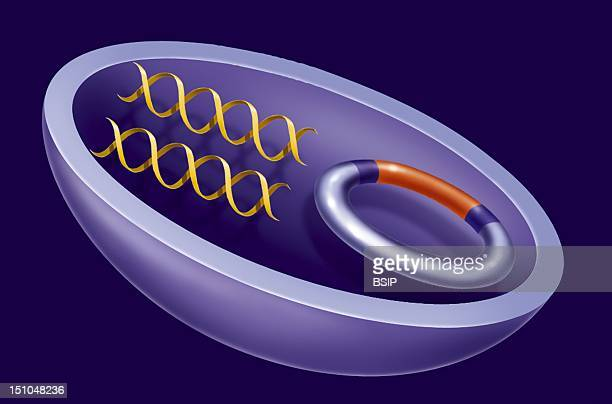 Illustration Of An Agrobacterium Used In Genetic Manipulations For Transferring Modified Genes Into Cells For The Creation Of Gmos