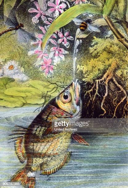 Illustration of an archerfish 1920s