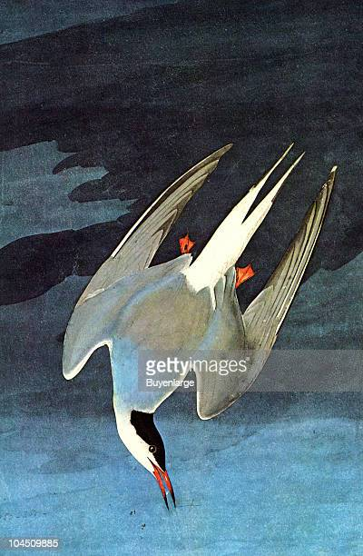 Illustration of an Arctic Tern 19th century The image was originally painted by the illustrator John James Audubon and first published in his book...