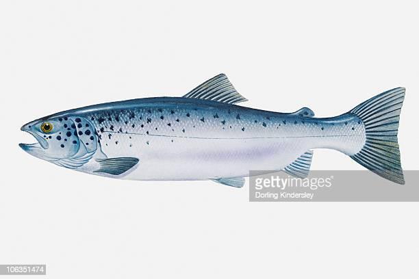 Illustration of Atlantic Salmon (Salmo salar)