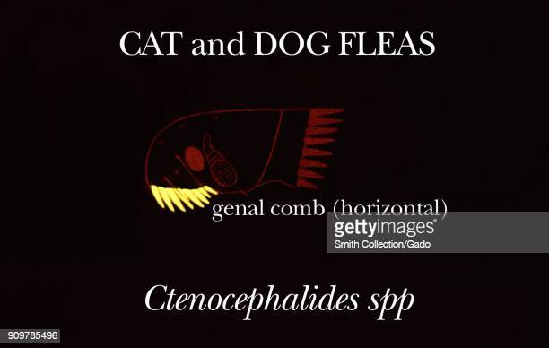 Illustration of cat and dog fleas with highlighted identifying characteristic of a horizontal genal comb in the head region 1976 Image courtesy CDC