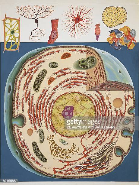 Illustration of cell