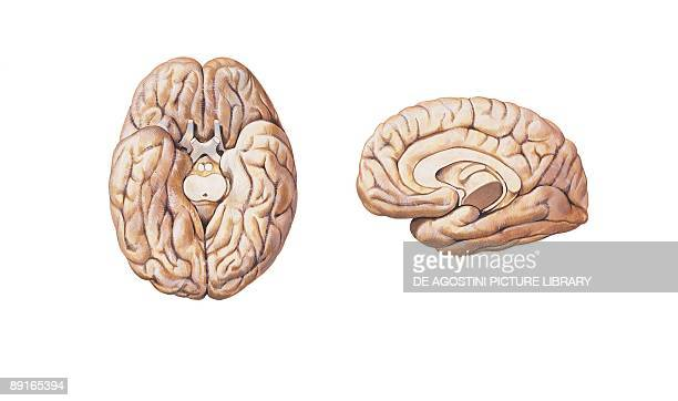 Illustration of cerebral hemisphere lower and medial surface of brain