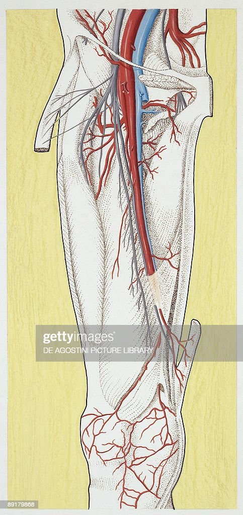 Illustration Of Circulatory System Femoral Artery Pictures Getty