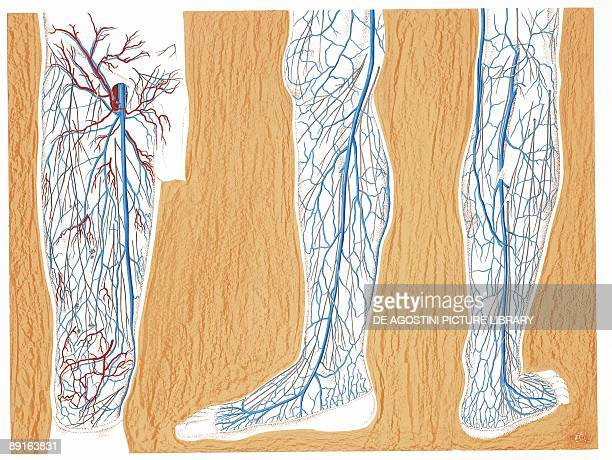 Illustration of circulatory system superficial veins in lower limbs right thigh and leg