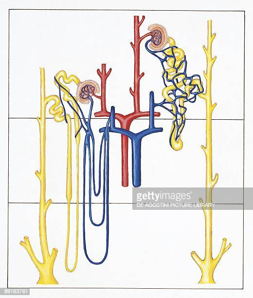 Illustration of cortical and juxtamedullary nephron