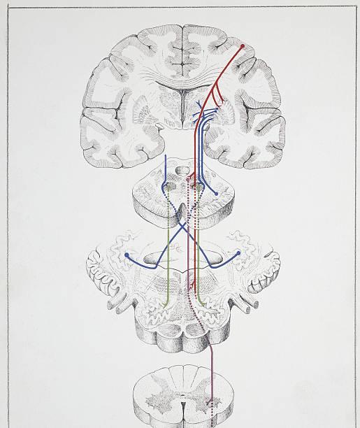 illustration of extrapyramidal system