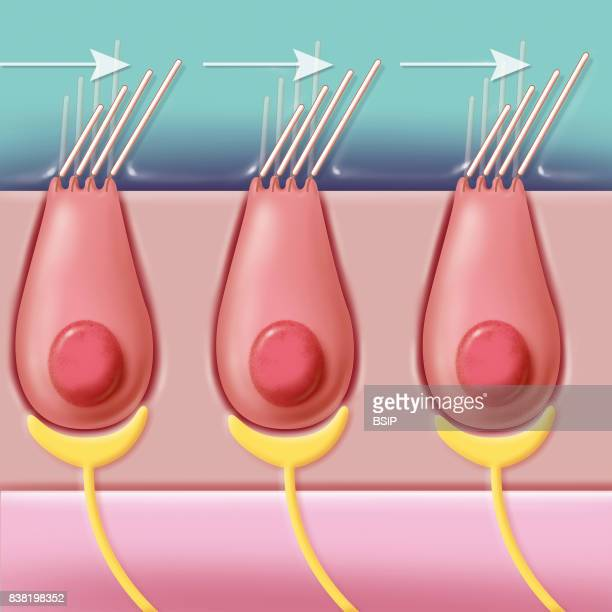 Illustration of hair cells hearing cells With the movement of liquid in which the hair cells pink are immersed in the cochlea channel the hairs white...