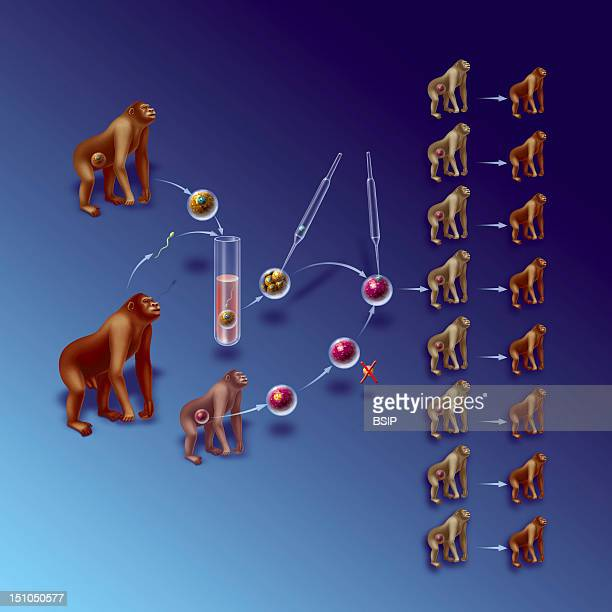 Illustration Of Horizontal Reproductive Cloning An Ovule Is Taken From A Female Donor Monkey It Is Fertilized In Vitro With Spermatozoids From A Male...