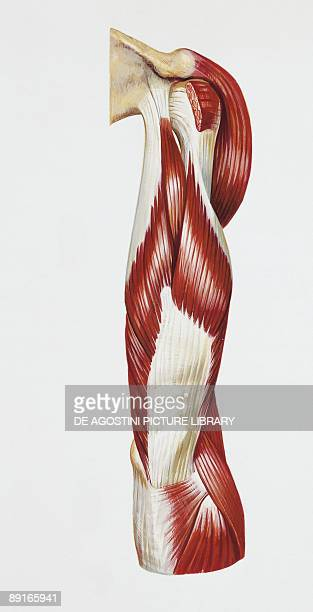 Illustration of human arm muscles back view