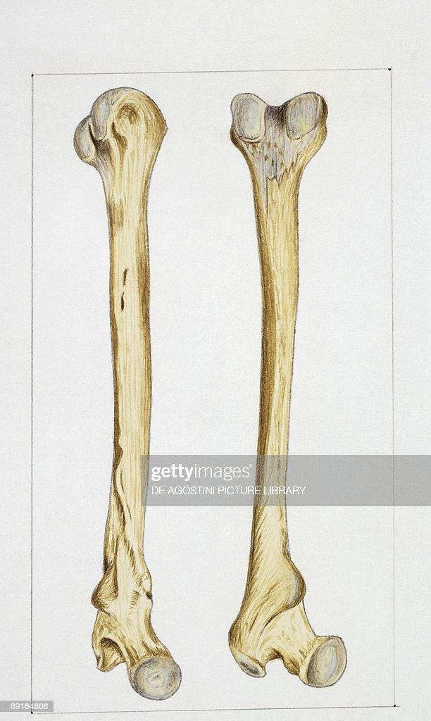 Illustration Of Human Bones Femur News Photo Getty Images