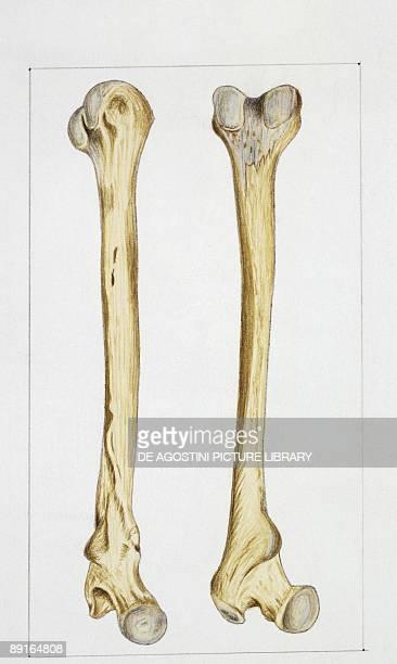 Illustration of human bones femur