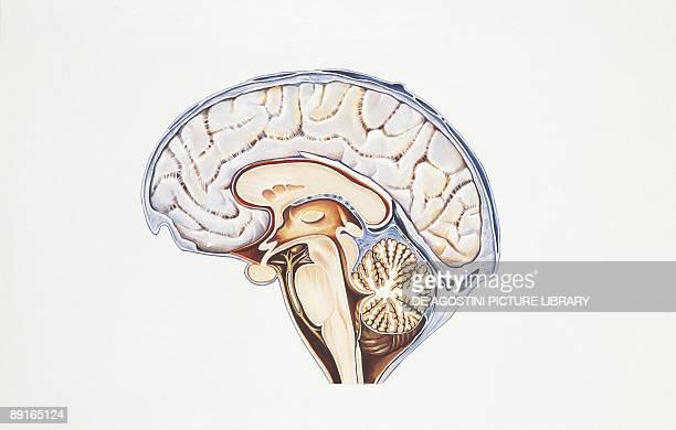 Illustration of human brain cerebral aqueduct