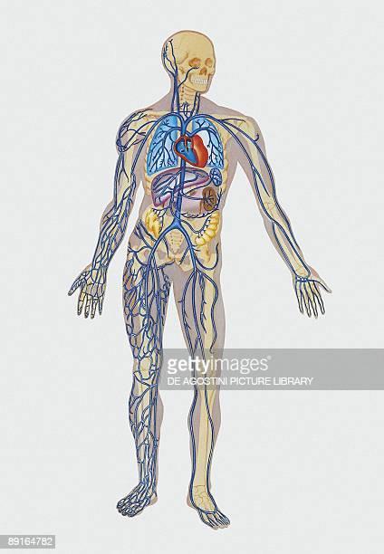 Illustration of human circulatory system nervous system