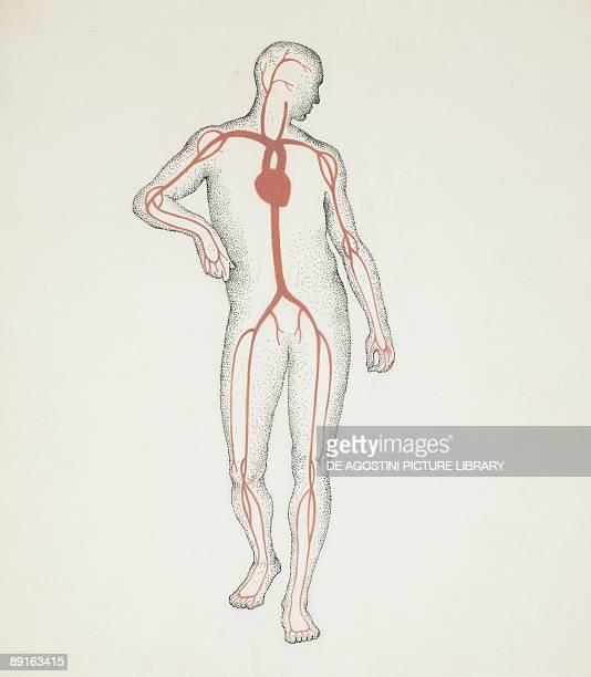 Illustration of human circulatory system