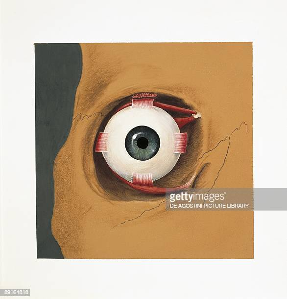 Eyeball Anatomy Stock Photos and Pictures | Getty Images