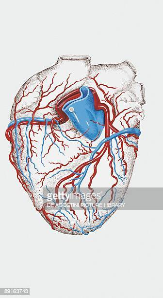 Illustration of human heart arteries and veins