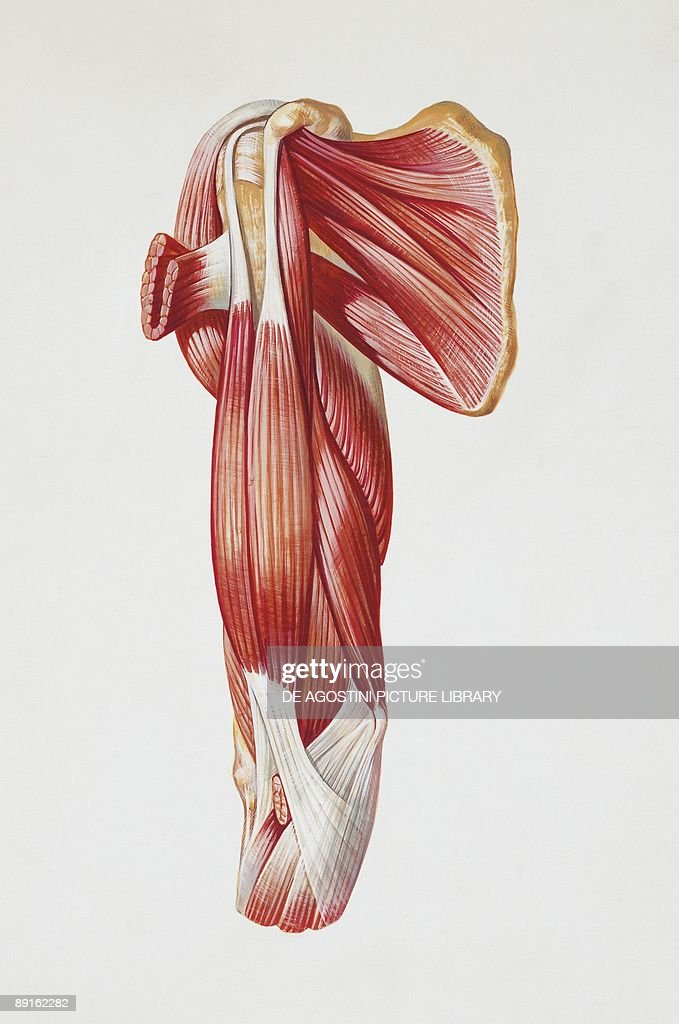 Illustration of human muscles, biceps brachii muscle Pictures ...