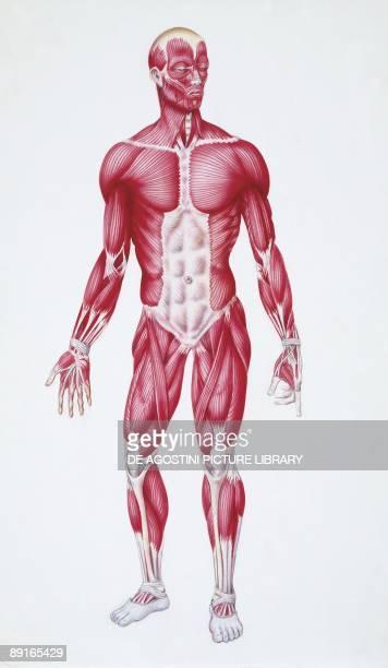 Illustration of human muscular system