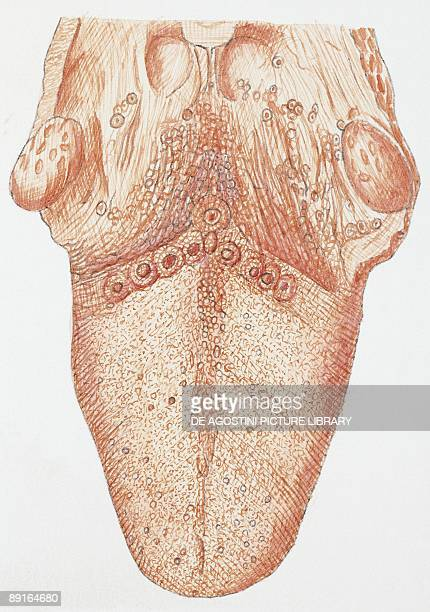 Illustration of human tongue upper side
