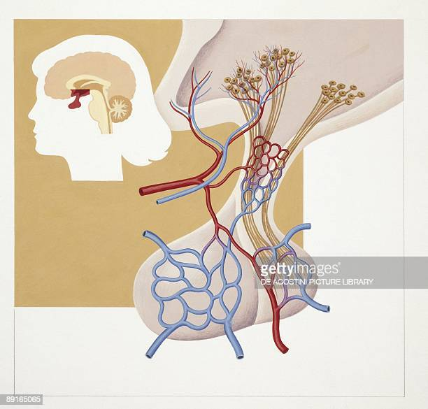 Illustration of hypophysis or pituitary gland