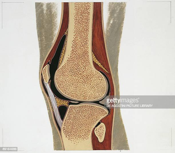 Illustration of knee-joint
