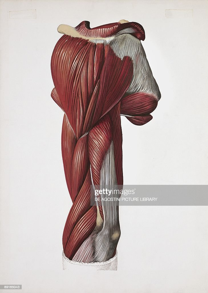 Illustration of left arm, back and lateral muscles Pictures   Getty ...