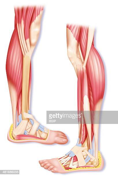 Calf Muscles Anatomy Stock Photos and Pictures | Getty Images