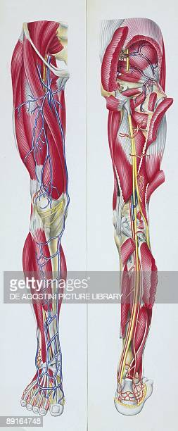 Illustration of lower limb skeletal muscles front and back views