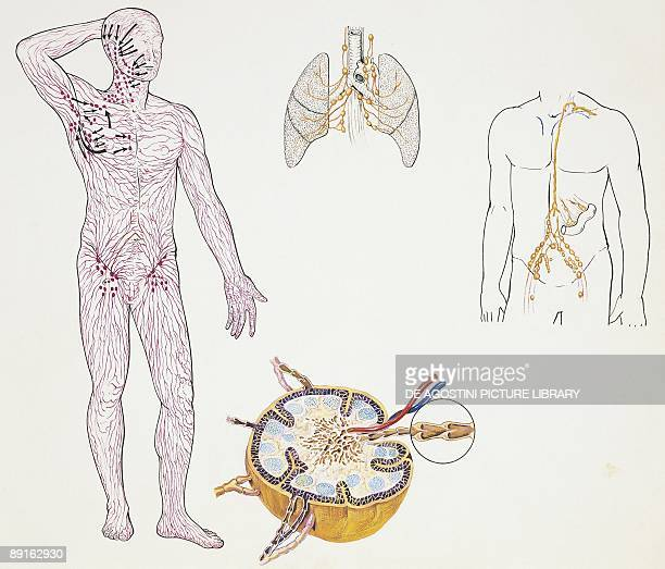Lymphatic System Stock Photos And Pictures Getty Images