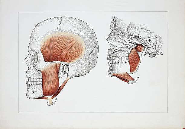 Illustration Of Muscles Of Mastication Pictures Getty Images