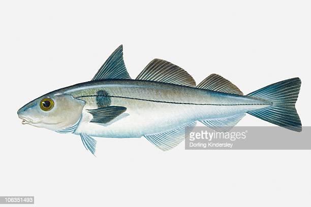Illustration of North Atlantic Haddock (Melanogrammus aeglefinus) fish
