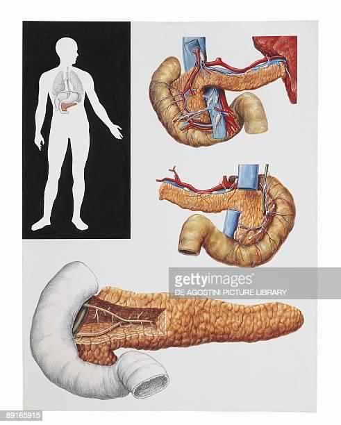 Illustration of pancreas