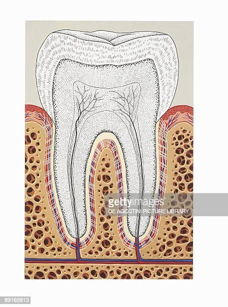 Illustration of periodontium