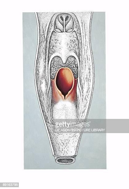 Illustration of pharynx section