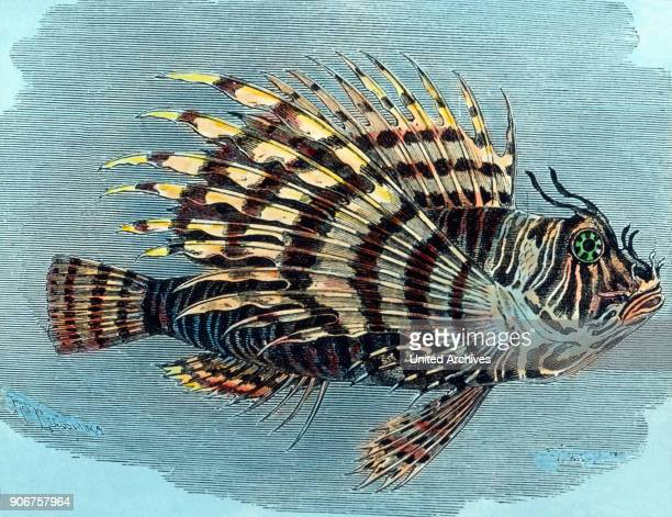 Illustration of pterois 1920s