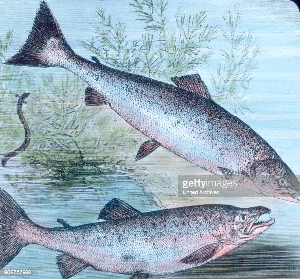 Illustration of salmon and salmon trout 1920s