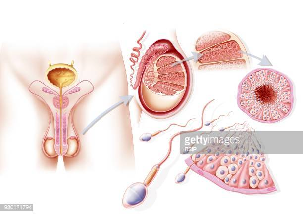 Illustration of spermatogenesis From left to right illustration of the male genital organs crosssection of the testicle closeup of a lobule and...