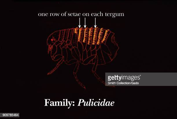 Illustration of the abdomen terga morphology of fleas from the family Pulicidae with one row on setae on each terga 1976 Image courtesy CDC