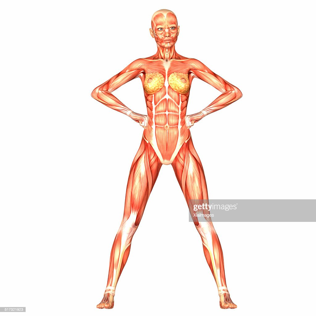 Illustration Of The Anatomy Of The Female Body Stock Photo Getty