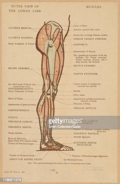 Illustration of the anatomy of the human leg by James M Dunlop from the book Anatomical Diagrams for the Use of Art Students published by George Bell...
