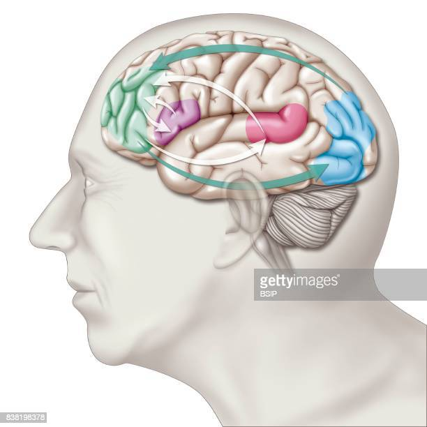 Illustration of the areas of the brain affected in the case of transient global amnesia TGA a pathology affecting shortterm memory Two types of...