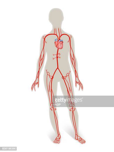 Illustration of the arterial network heart and arteries of the upper and lower limbs thoracic and abdominal arteries in the outline of a woman