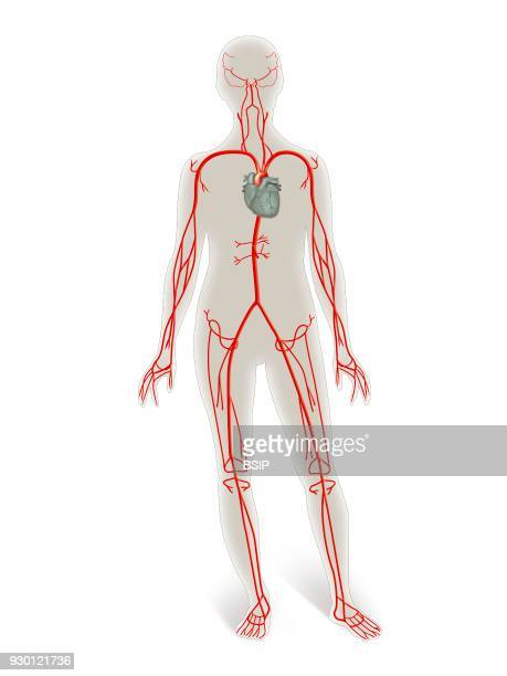 Illustration of the arterial system heart and arteries of the upper and lower limbs facial artery thoracic and abdominal arteries in the outline of a...